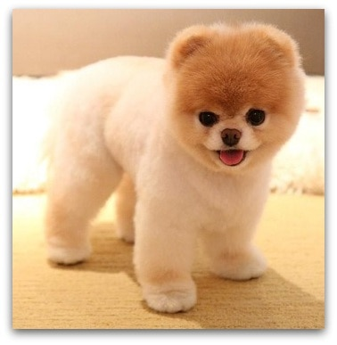 Teddy Bear Puppies For Sale Description Of Each Breed