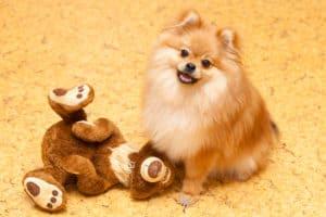 11 Dogs That Look Like Teddy Bears
