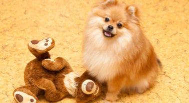 Dogs That Look Like Teddy Bears