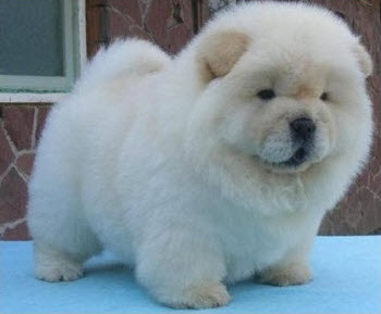Dogs That Look Like Teddy Bears Chow Chow