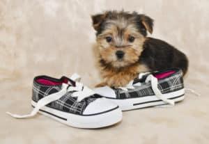 Mini Teddy Bear Puppies Information