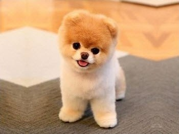 Dogs That Look Like Teddy Bears Pictures And Videos - 28 adorable dogs that actually look like tiny teddy bears