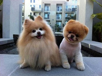 Teddy Bear Pomeranian The Dog That Surely Melts Your Heart