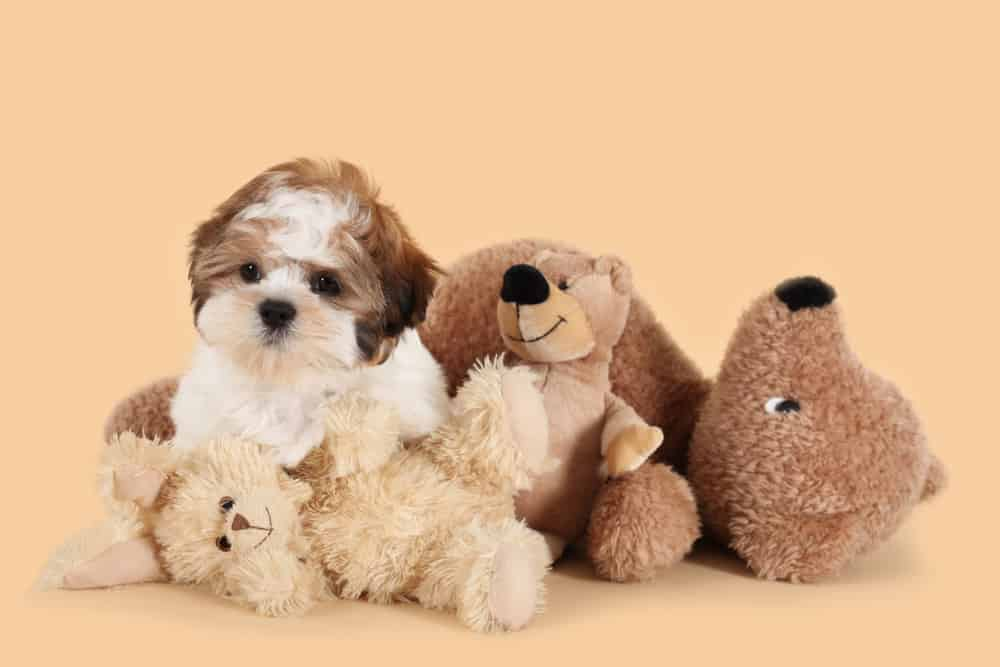Teddy Bear Dog - Everything About Teddy Bear Puppies