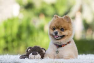What Is Teddy Bear Pomeranian?