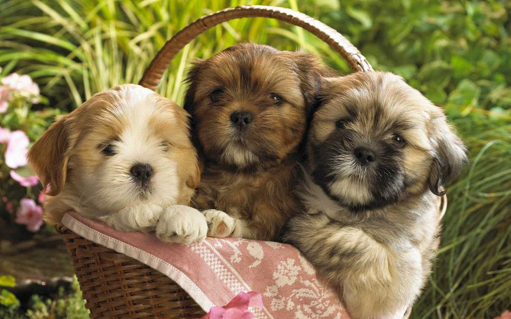 Teddy Bear Puppies For Sale - Description Of Each Breed & Price