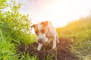 Why Do Dogs Dig?