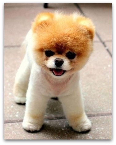 teddy bear pomeranian prices teddy bear dog breed information which dog is right for you 8725