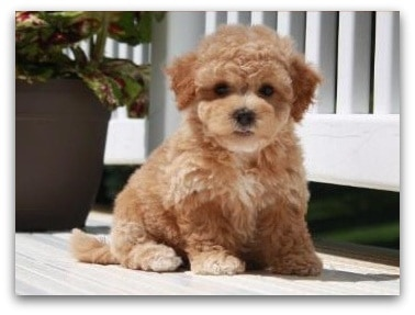 teddy bear dog breed information   which dog is right for you