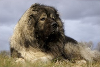 Russian Bear Dog Caucasian Mountain Shepherd Breed