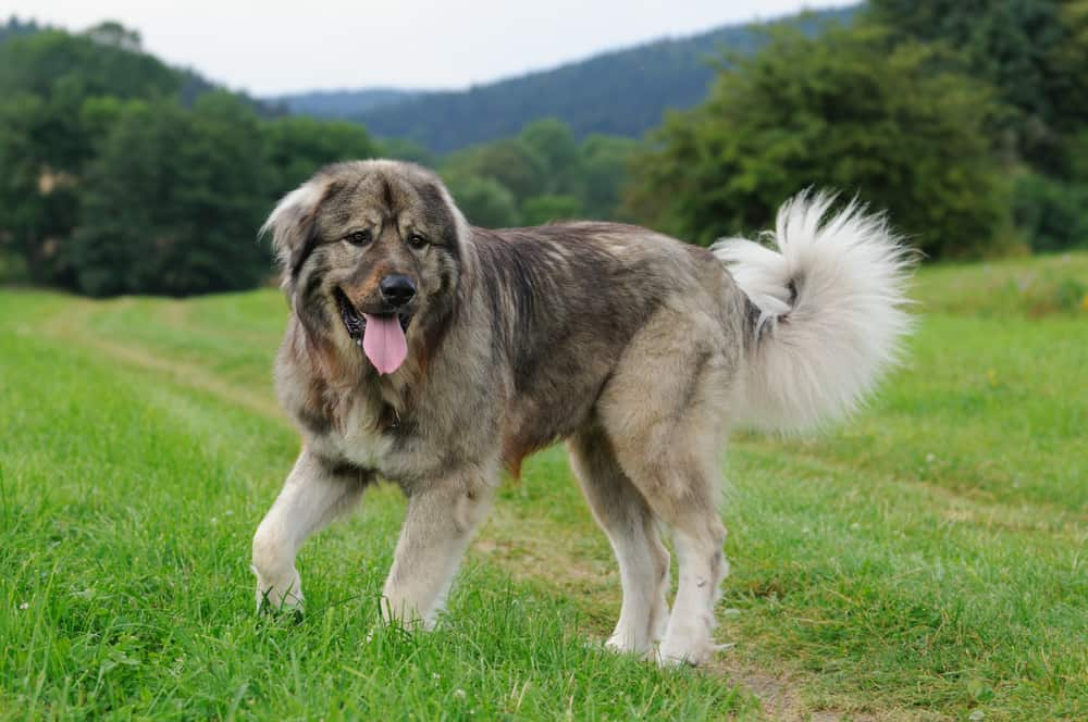 Russian Bear Dog Breed