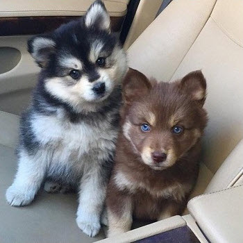 husky and pomeranian mix dogs pomsky pomeranian husky mix breed information 7516
