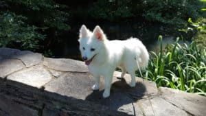 Facts of Pomsky (Pomeranian Husky Mix)