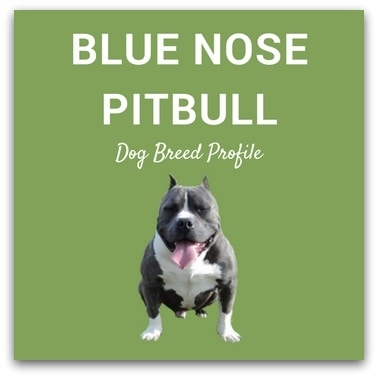 Blue Nose Pitbull