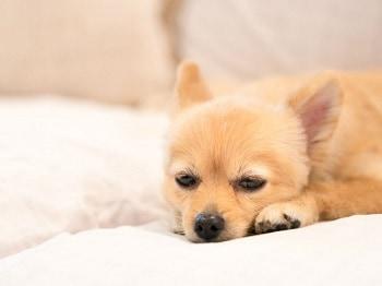 Dog Giardia