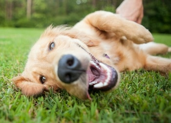 Dog Heartworms