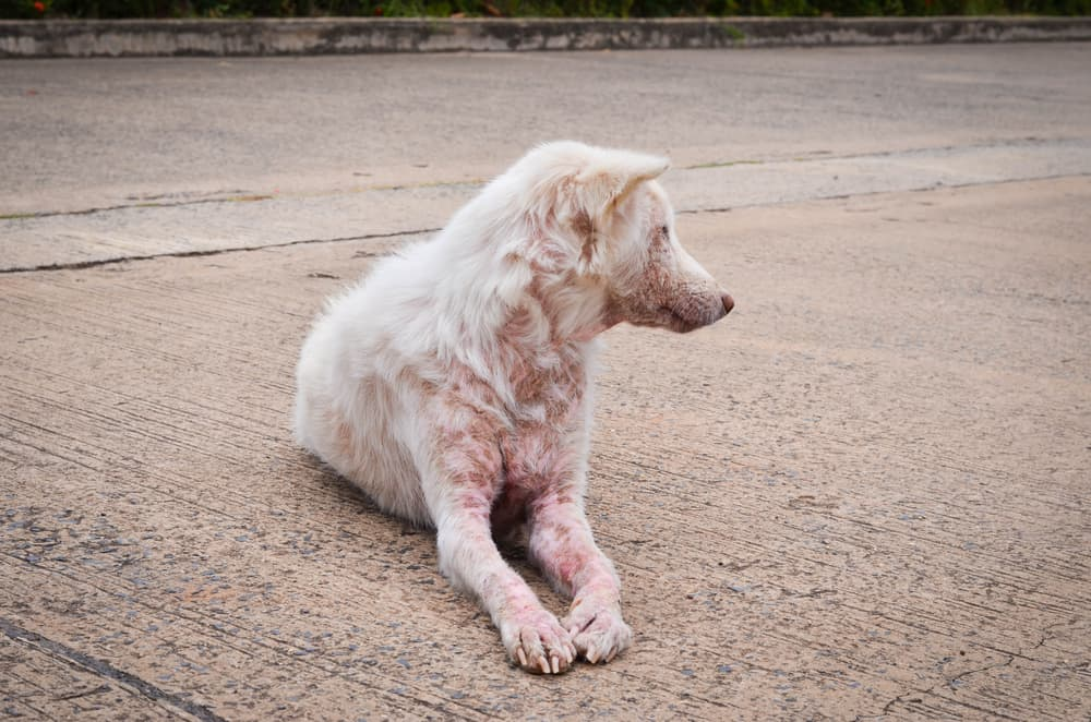 Do Dogs Get Humans Scabies