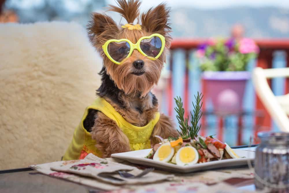 Best Dog Food For Yorkies 2019 Edition Dont Buy Before Reading This