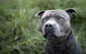 Blue Nose Pitbull Price