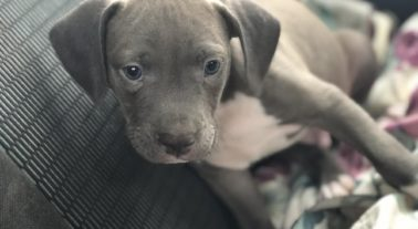 Blue nose pitbull puppies for free