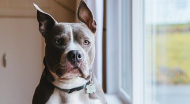 Blue nose pitbull terrier