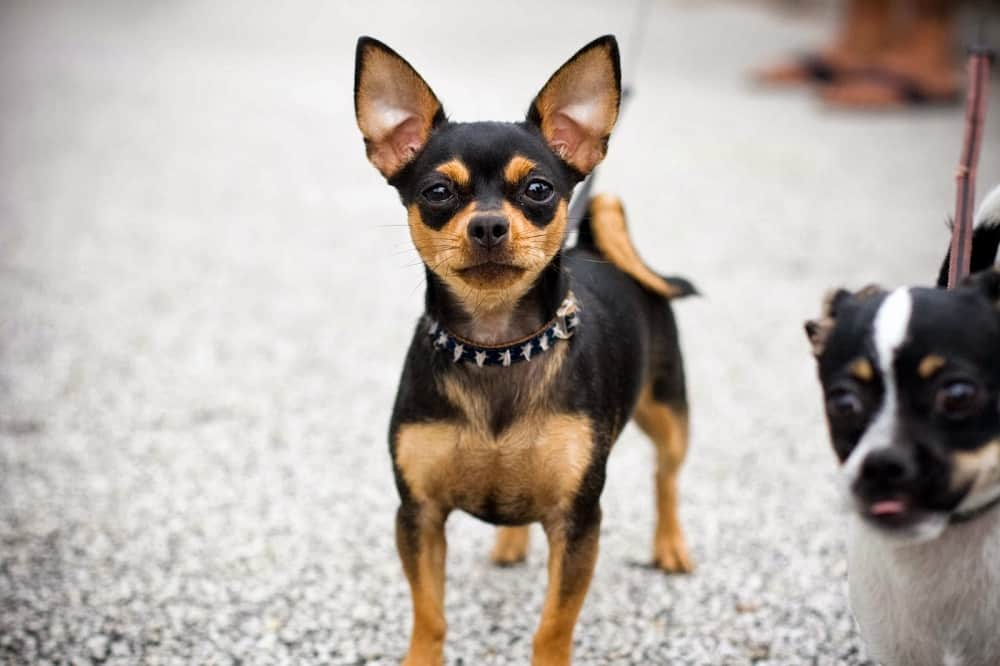 Deer Head Chihuahua Breed Information Facts And Highlights