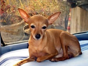 Facts of Deer Head Chihuahua