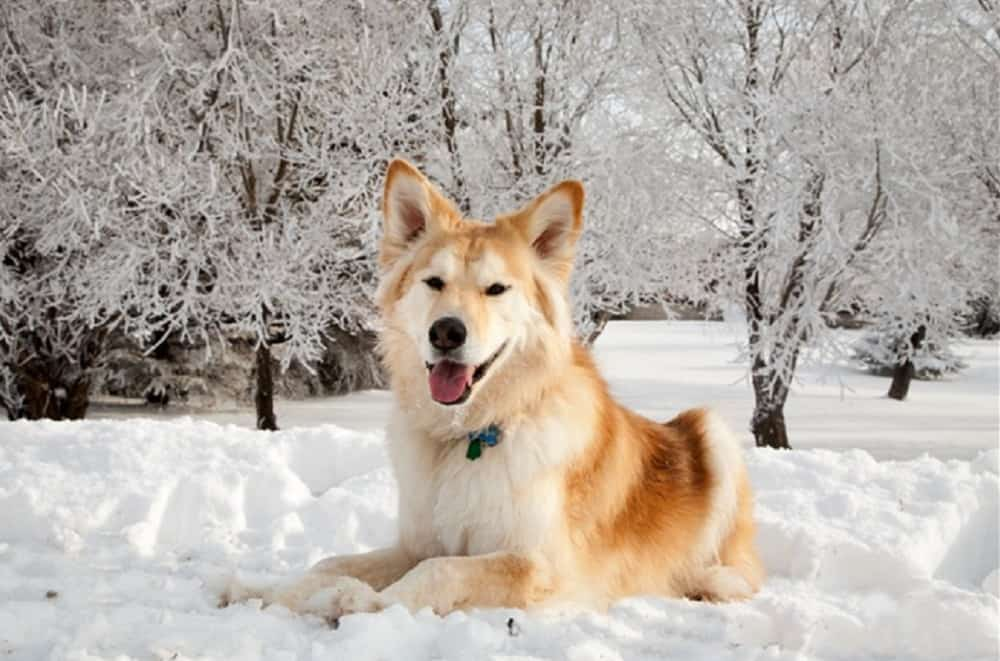 Golden Retriever Husky Mix Goberian Breed Information