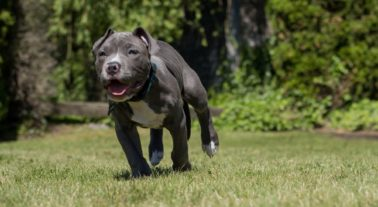 What to Know About Blue Nose Pitbull Puppies?