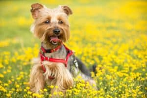 Facts of Yorkshire Terrier (Yorkies)