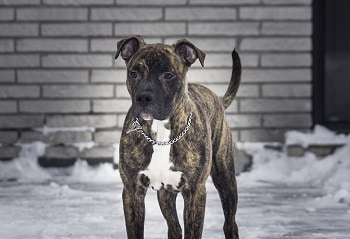 Black brindle pitbull