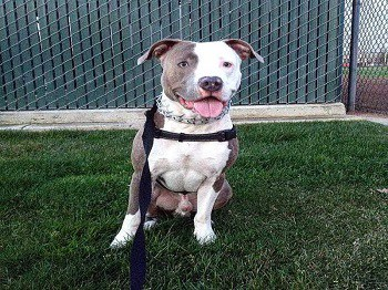 White brindle pitbull
