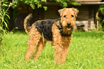 Large Non Shedding Dog Breed - Airedale Terrier