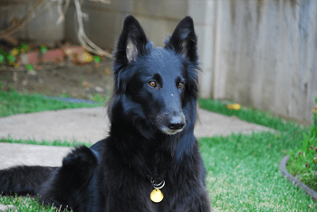 Large Non Shedding Dog Breed - Belgian Shepherd Laekenois