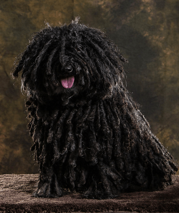 Large Non Shedding Dog Breed - Bergamasco Shepherds