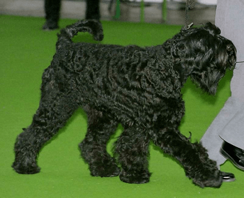 Large Non Shedding Dog Breed - Black Russian Terrier