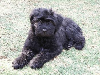 Large Non Shedding Dog Breed - Bouvier Des Flandres