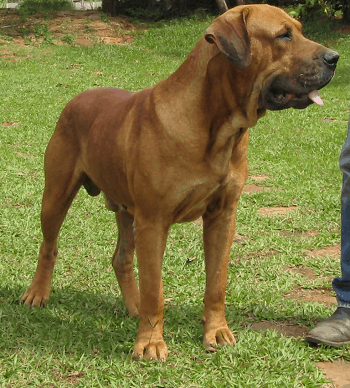 Large Non Shedding Dog Breed - Bull Mastiff