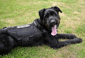 Large Non Shedding Dog Breed - Giant Schnauzer