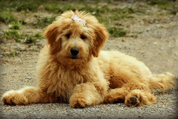Large Non Shedding Dog Breed - Goldendoodle