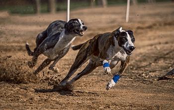 Large Non Shedding Dog Breed - Greyhounds