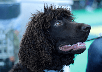 Large Non Shedding Dog Breed - Irish Water Spaniel
