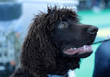 Large Non Shedding Dog Breed - Irish Water Spaniel