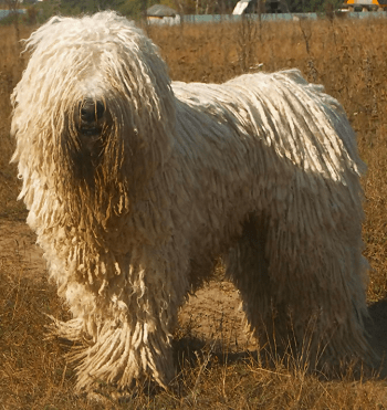Large Non Shedding Dog Breed - Komondor