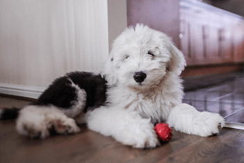 Large Non Shedding Dog Breed - Old English Sheep Dog