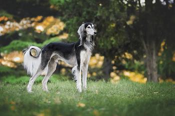 Large Non Shedding Dog Breed - Saluki
