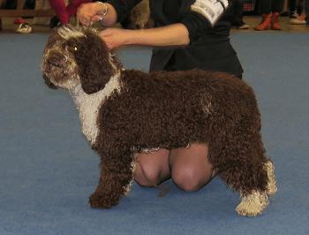 Large Non Shedding Dog Breed - Spanish water Dog