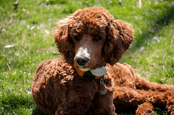 Large Non Shedding Dog Breed - Standard Poodle