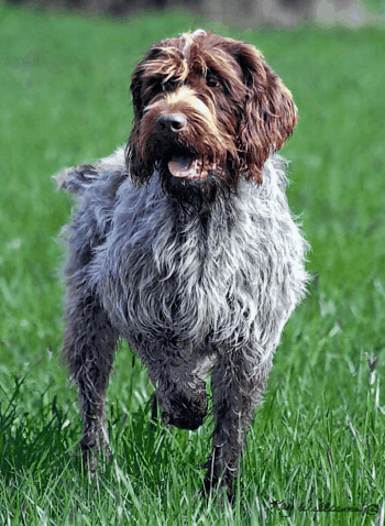 Large Non Shedding Dog Breed - Wirehaired Pointing Griffon