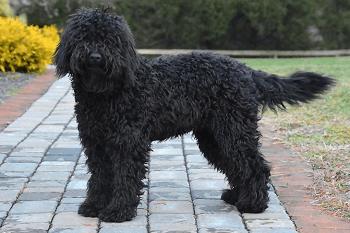 Medium Non Shedding Dog Breed - Barbet